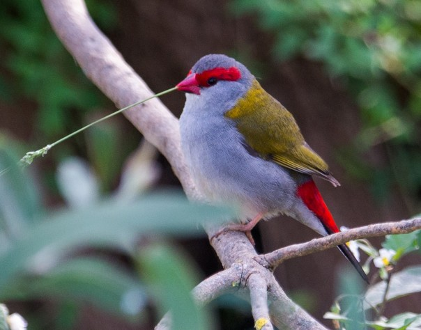 red-browed-finch-marilyn-ellis