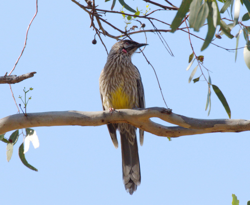 red-wattlebird-you-yangs-2016-09-03-800x655-arthur-carew
