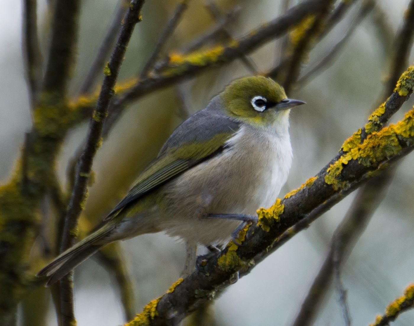 silvereye-marilyn-ellis