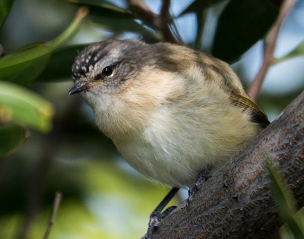 spotted-pardalote-female-marilyn-ellis