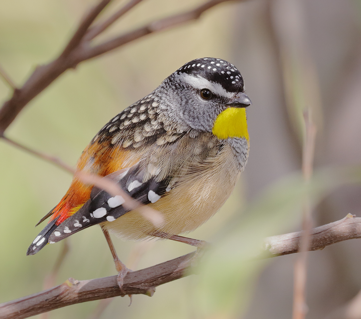 spotted-pardalote-male-kathy-zonneville