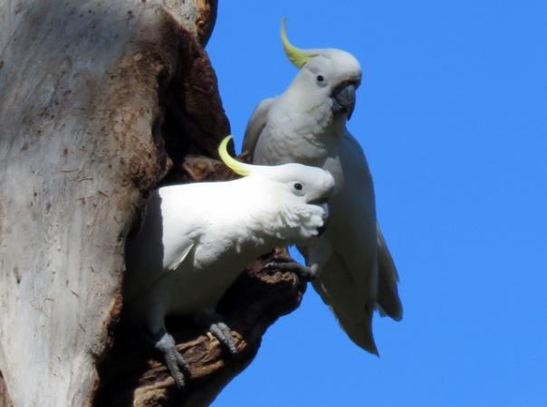 sulphur-crested-cockatoos-alan-veevers