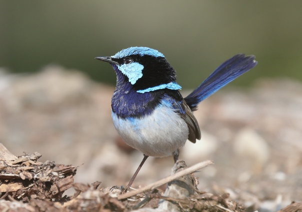 superb-fairy-wren-male-kathy-zonneville