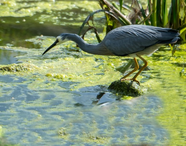 white-faced-heron-marilyn-ellis
