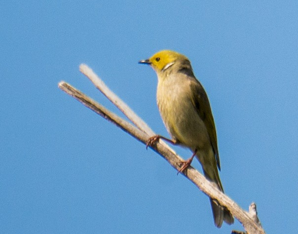 white-plumed-honeyeater-marilyn-ellis