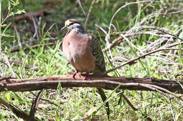 Common Bronzewing (M), Banyule