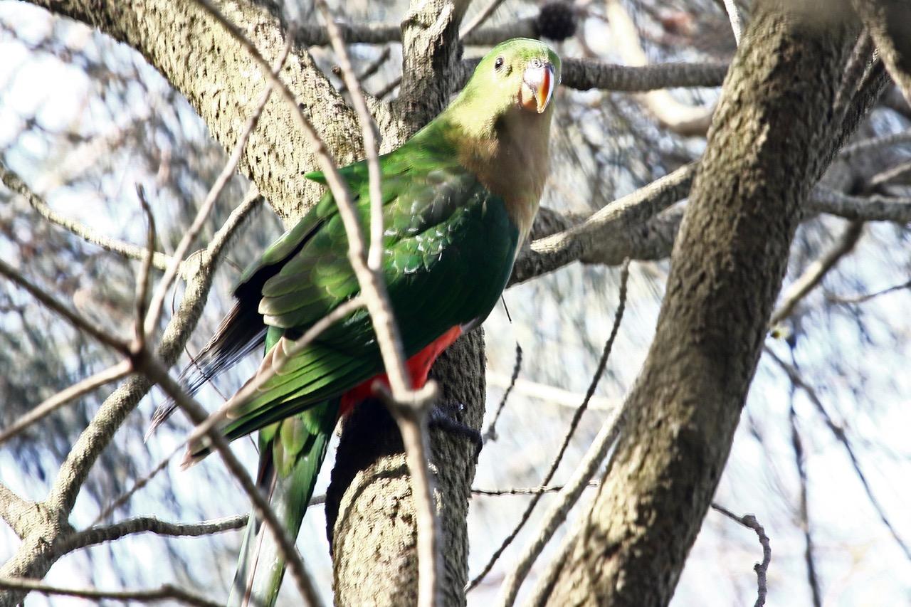 coolart-king-parrot