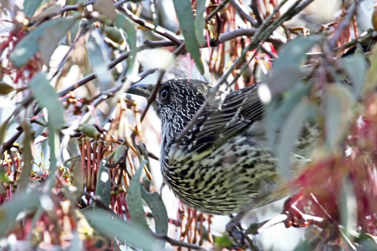 coolart-little-wattle-bird
