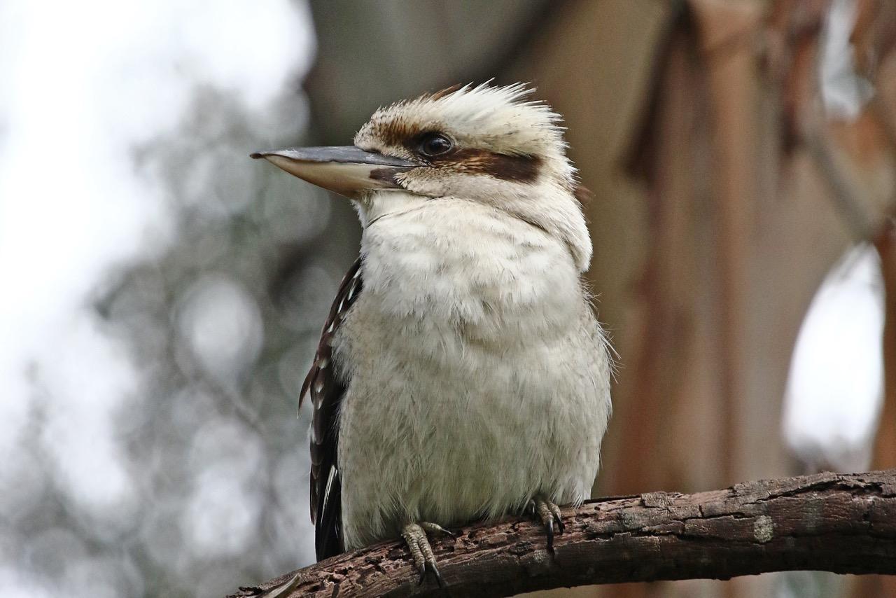 Laughing Kookaburra, Banyule