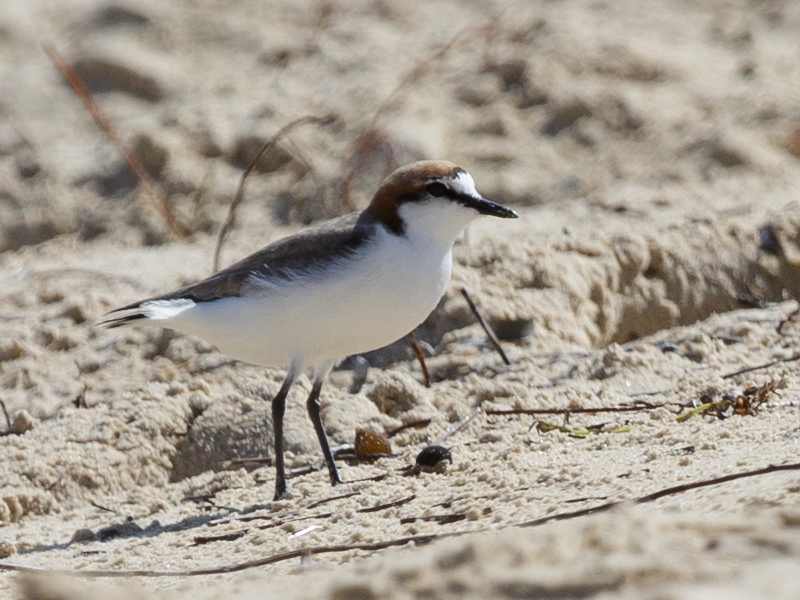 red-capped-plover-coolart-2016-09-24-6935-800x600-m-serong