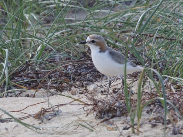 red-capped-plover-coolart-2016-09-24-6965-800x600-m-serong