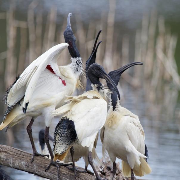 white-ibis-coolart-2016-09-24-7082-800x800-m-serong