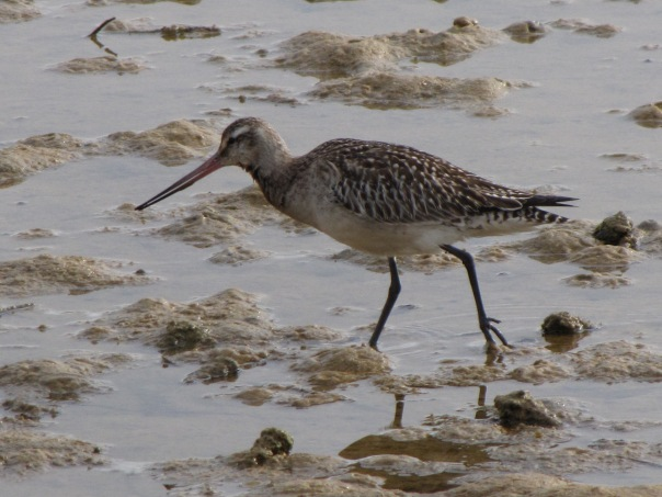 Bar-tailed Godwit - Derek Whitehead.JPG