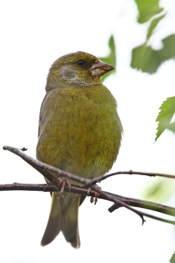 Common Greenfinch, Newport Lakes