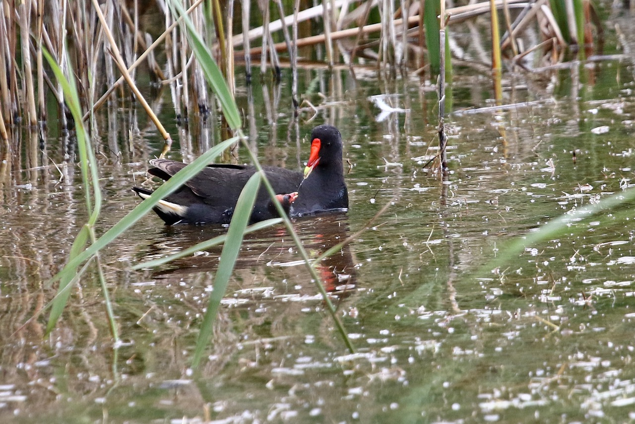 Dusky Moorhen and chick, Newport Lakes