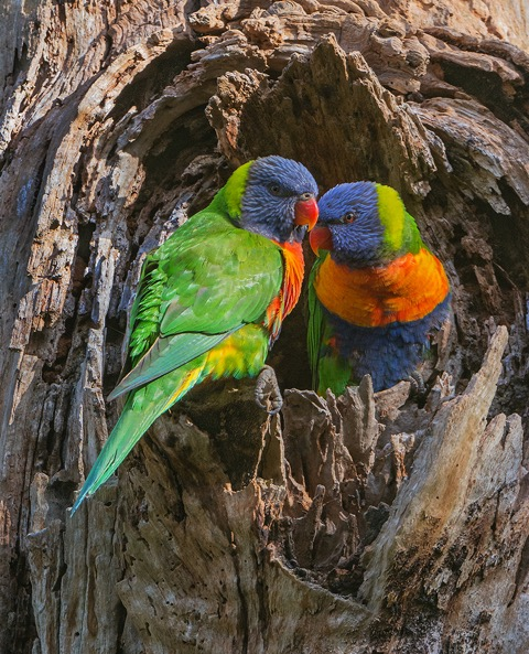 rainbow-lorikeets-dennis-hill