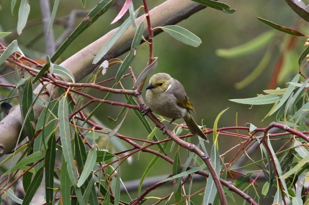 White-plumed%20Honeyeater,%20Newport%20Lakes.jpg