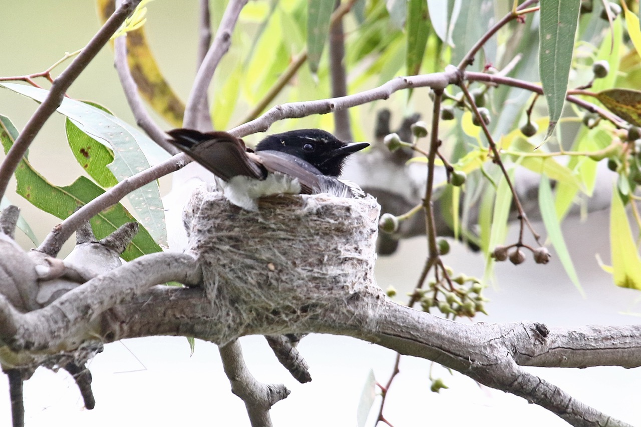 Willie Wagtail on nest, Newport Lakes