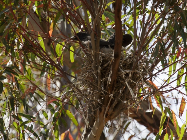 1-grey-currawong-nest-near-yy-office-2016-12-03-0791-800x600-m-serong