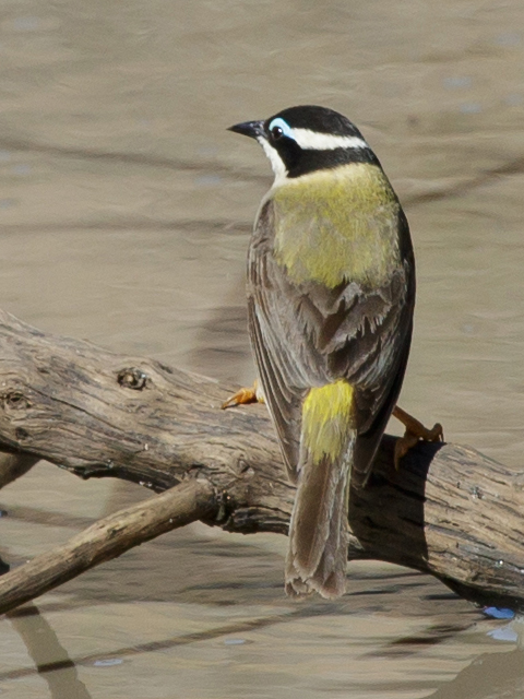 black-chinned-honeyeater-yy-2016-11-29-0727-480x640-m-serong