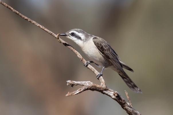 black-eared-cuckoo-belvedere-station-near-scotia-wildlife-sanctuary-nsw