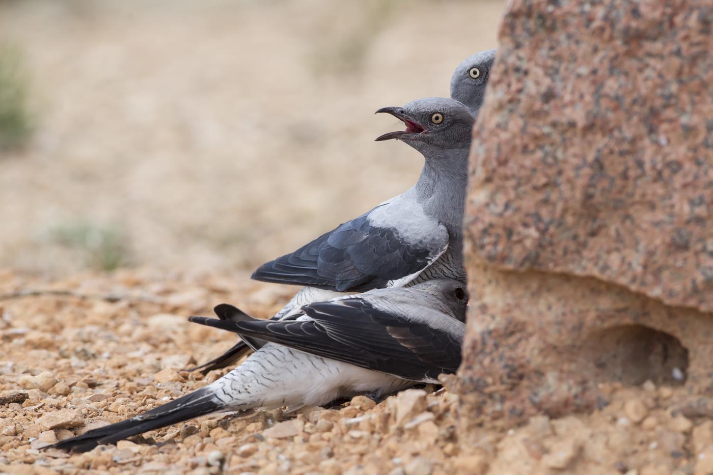 ground-cuckoo-shrike-yantanabie-school-south-austalia