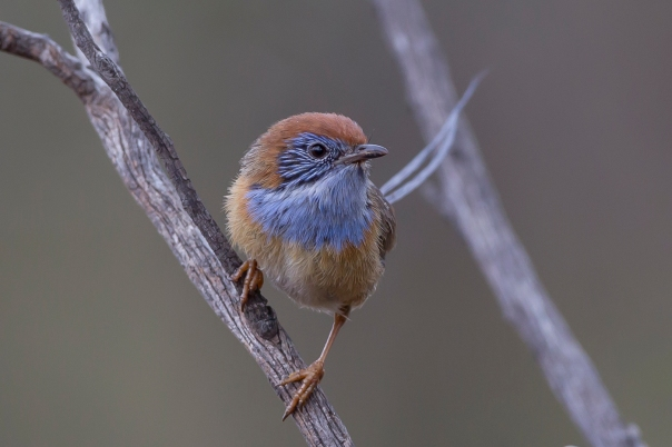 Mallee Emu-wren at Murray Sunset National Park, Vic.jpg