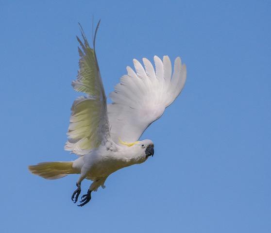 sulphur-crested-cockatoo-dennis-hill