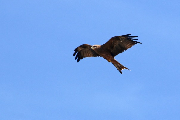 Black Kite, Point Cook