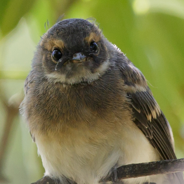 grey-fantail-point-cook-2017-01-28-2620-600x600-m-serong
