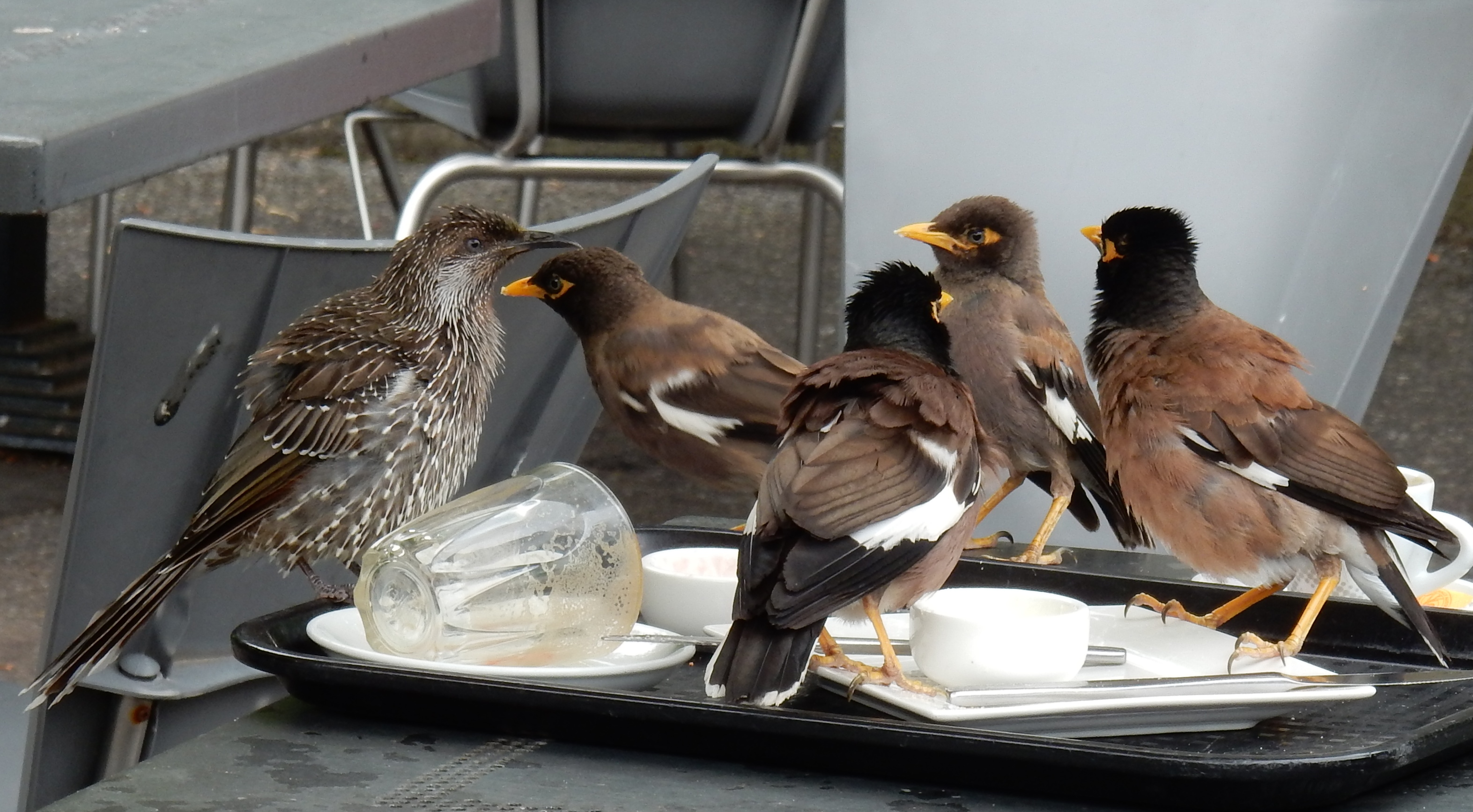 little-wattlebird-and-common-myna-2
