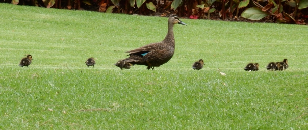 pacific-black-duck-with-young-2