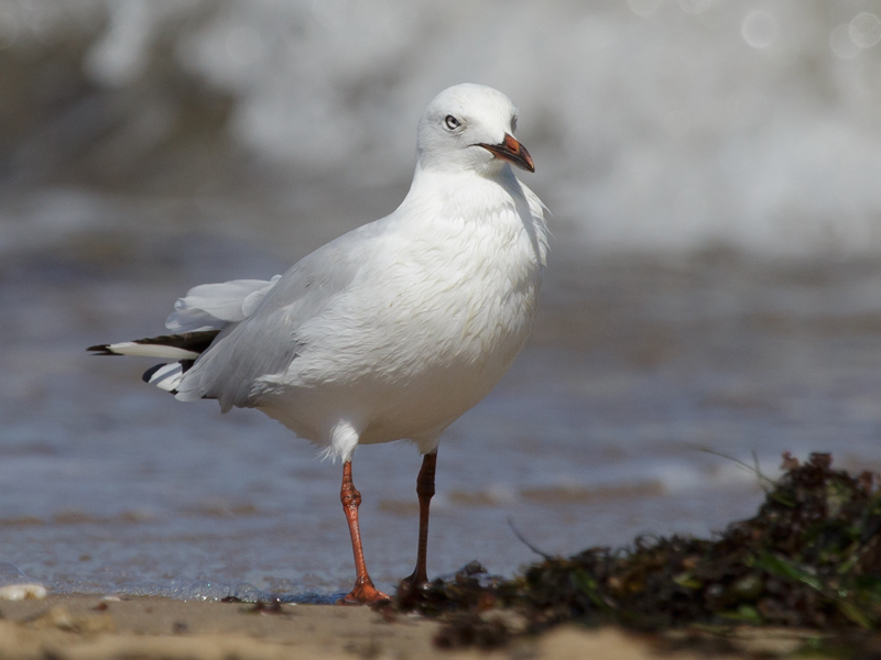 silver-gull-point-cook-2017-01-28-2946-800x600-m-serong