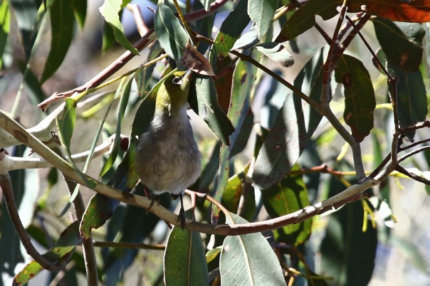 Silvereye, Point Cook