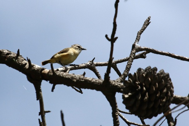 Yellow-rumped Thornbill, Point Cook