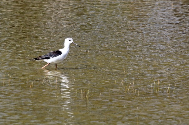 Black-winged Stilt (juvenile), Yan Yean