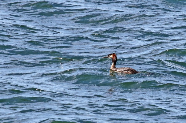 Great Crested Grebe, Yan Yean