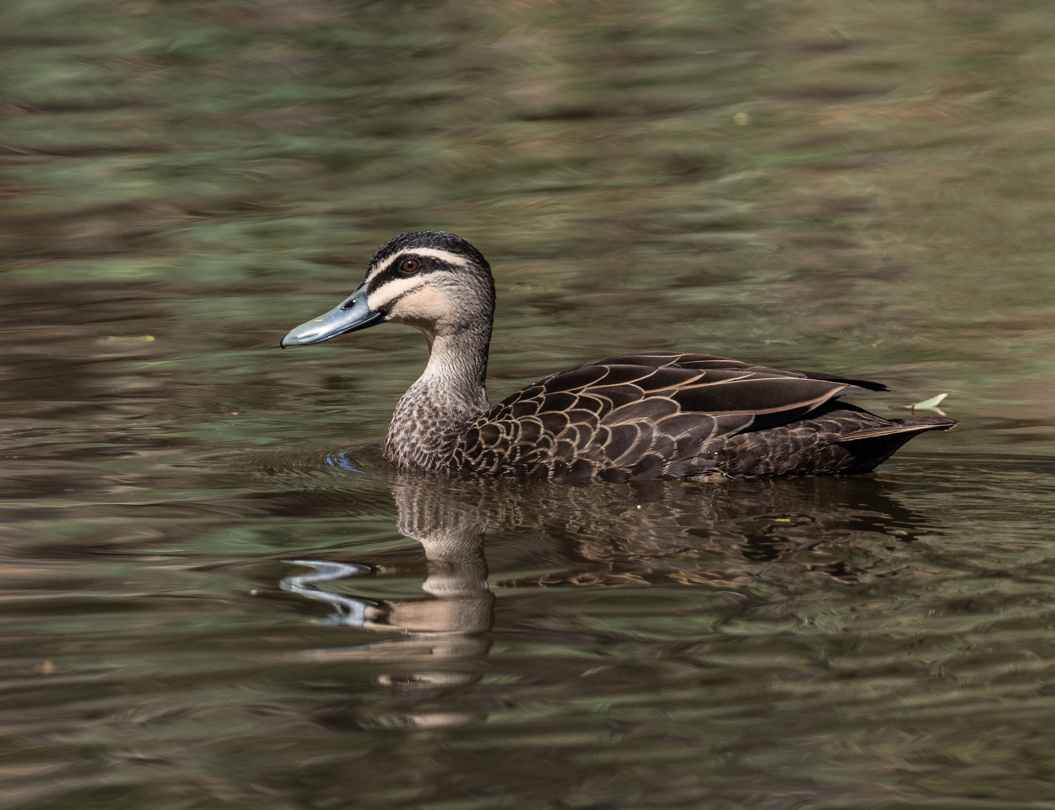 Pacific Black Duck - Bevan Hood