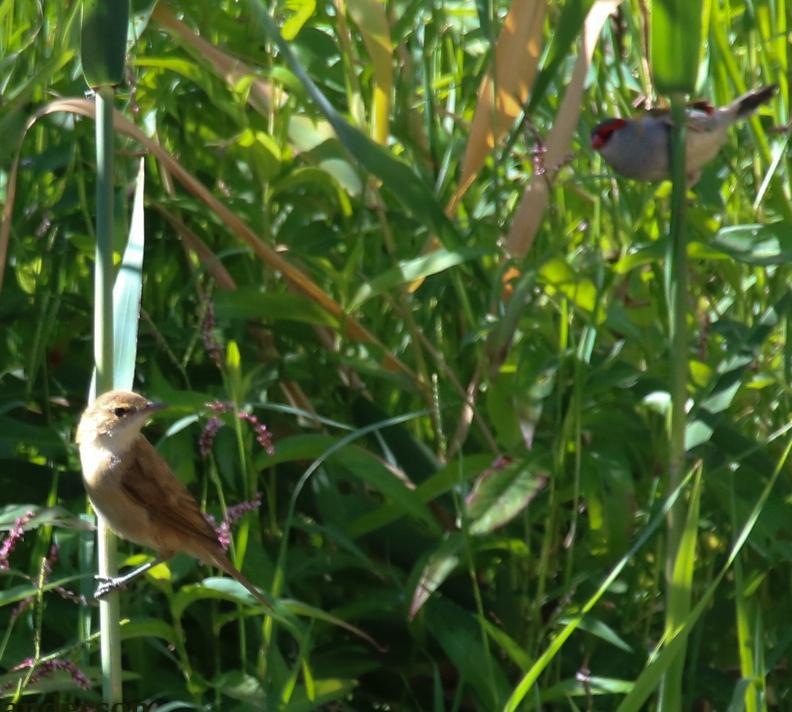 Reed Warbler Red browed Finch Danika Sanderson