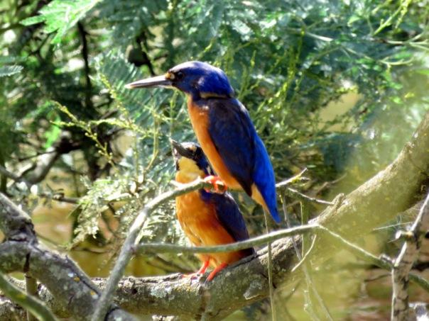 Azure Kingfishers A Veevers IMG_3491