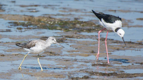 Common Greenshank - Black-winged Stilt - Graeme Dean