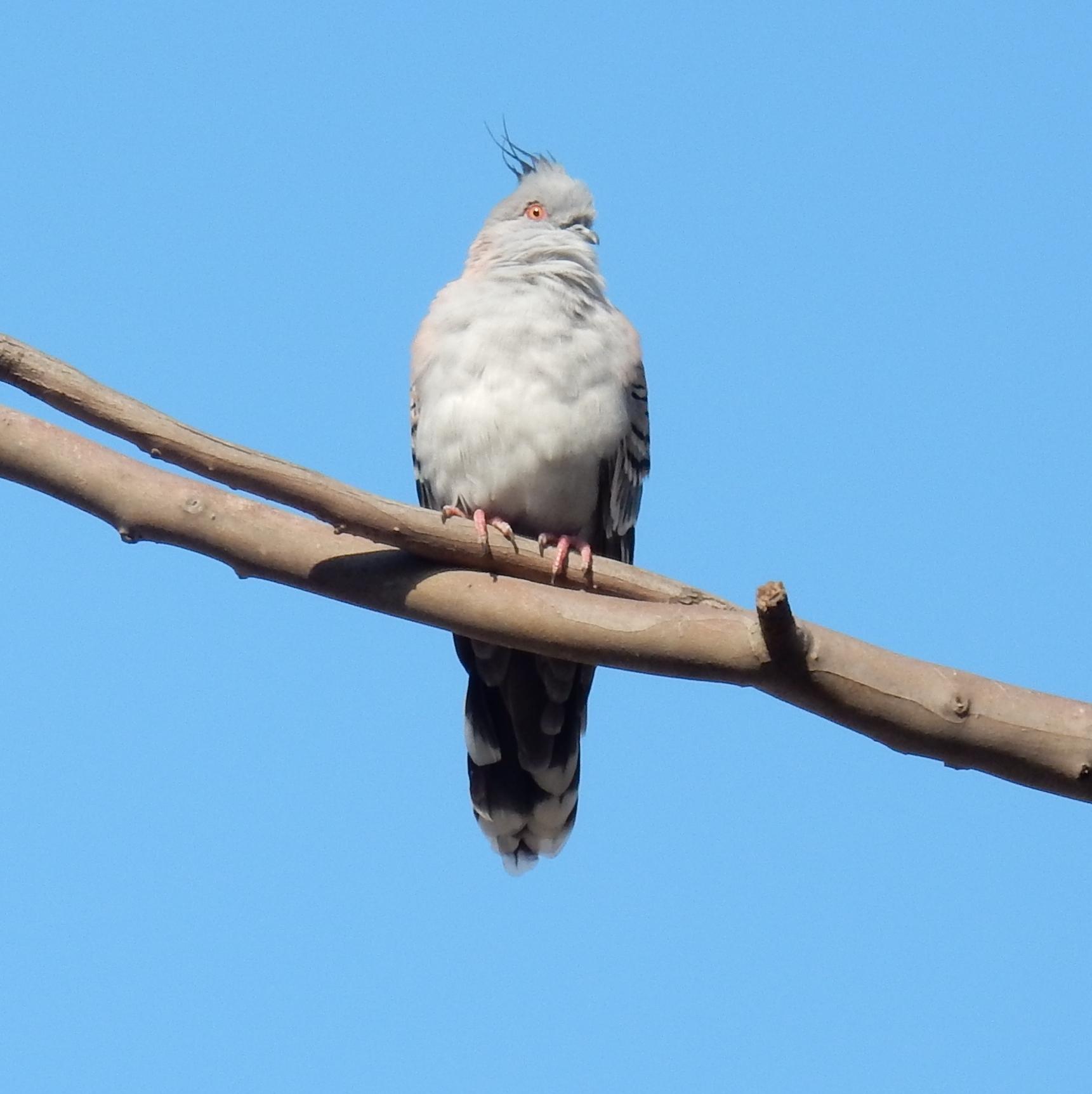 Crested Pigeon - D Tweeddale