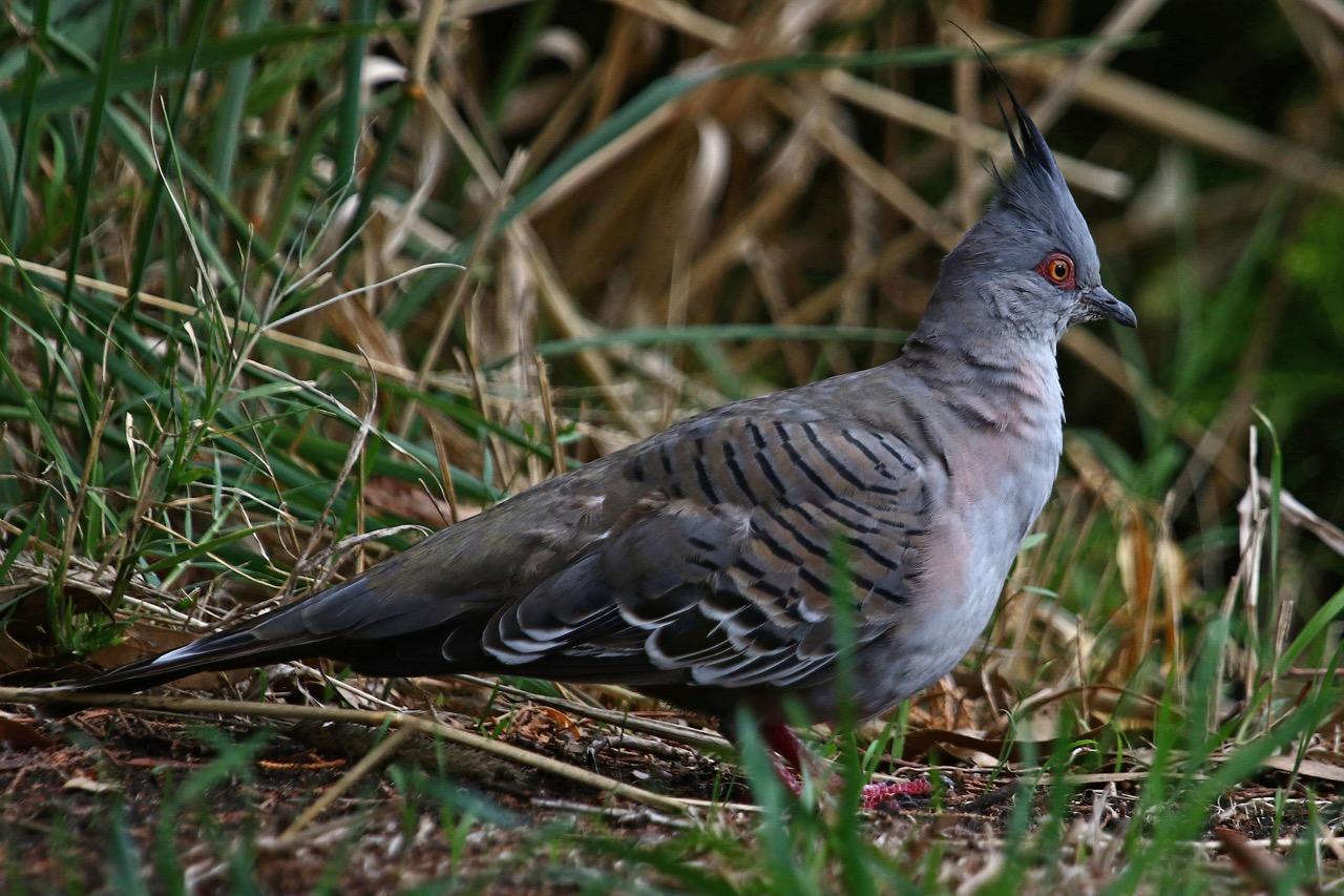 Crested Pigeon, Braeside