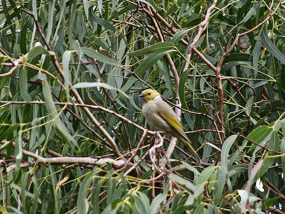 White-plumed Honeyeeater, Braeside