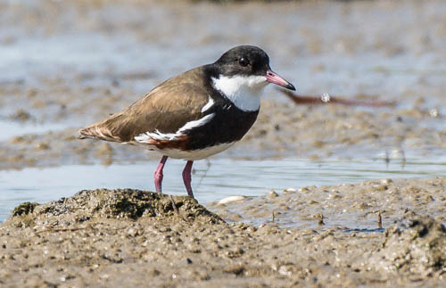 Red-kneed Dotterel - Graeme Dean