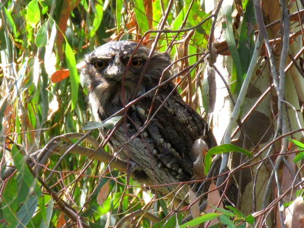 Tawny Frogmouth A Veevers IMG_3443