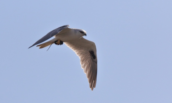 Black-shouldered Kite - Kathy Zonneville