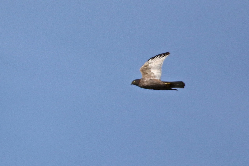 Brown Goshawk, Woodlands