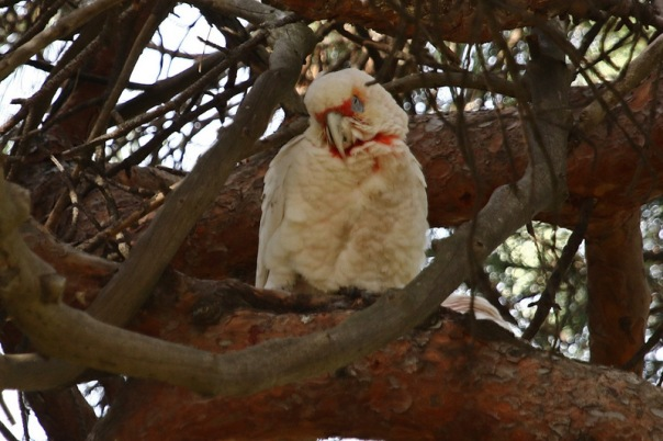 Long-billed Corella, Woodlands
