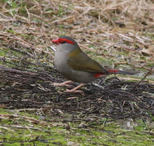 Red-browed Firetail - Sanderson